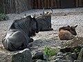 Juni 2011 Streifengnu Zoo Landau.JPG