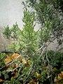 Juniperus chinensis at Akola, India5.jpg