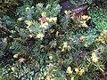 "Juniperus conferta""Sunsplash"".jpg"