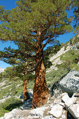 Juniperus occidentalis australis oldtree