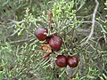 Juniperus phoenicea 4.JPG
