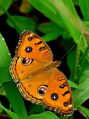 Junonia almana, wet-season form