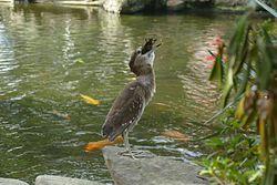Juvenile night heron swallowing fish.jpg