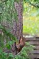 Juvenile squirrel climbing Pinus sylvestris, Hyvinkää, Finland, 2017-08-01 144813.jpg