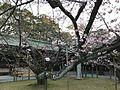 Kanhi-zakura Cherry Trees in Miyajidake Shrine 4.jpg