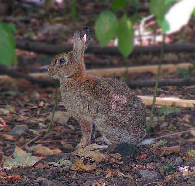627px Kaninchen