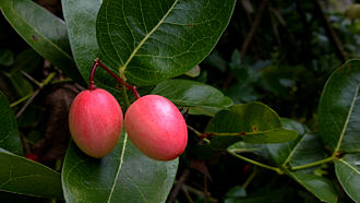 Carissa carandas - Fruit