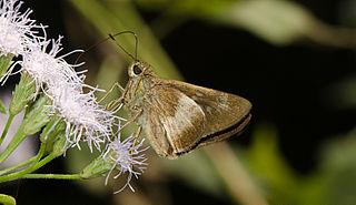 <i>Caltoris canaraica</i> species of insect