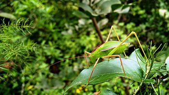 Katydid (Bush cricket or Long-horned grasshopper).jpg