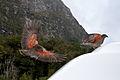 Keas displaying orange underside of wing.jpg