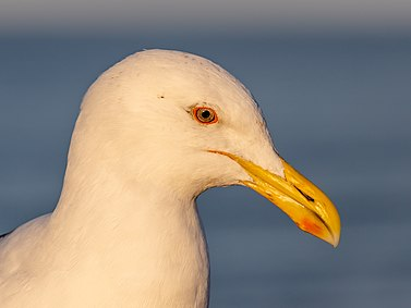 Kelp gull portrait, New Brighton, New Zealand