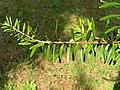 Keteleeria davidiana2.jpg