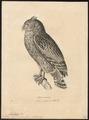 Ketupa ceylonensis - 1700-1880 - Print - Iconographia Zoologica - Special Collections University of Amsterdam - UBA01 IZ18400111.tif