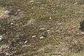 Kiaeria falcata (a, 110223-471210) 4584.JPG