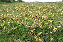 Kidney Vetch (Anthyllis vulneraria) - geograph.org.uk - 693895.jpg