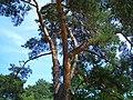 Kiefer (Pinus sylvestris) an der Ostsee.jpg