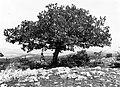Kilátás az Ágas-hegyről a Pécselyi-medencére. A viharvert tölgyfa alatt Cholnoky Jenő földrajztudós. Fortepan 20721.jpg