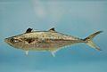 King mackerel ( Scomberomorus cavalla ).jpg