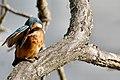 Kingfisher - Lackford Lakes (36311364773).jpg