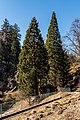Klagenfurt Villacher Vorstadt Botanischer Garten Sequoiadendron giganteum 29012018 2516.jpg