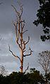 Klias Wetlands Old Tree 01.jpg