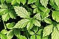 Kluse - Gynostemma pentaphyllum - Jiaogulan 01 ies.jpg