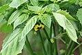 Kluse - Physalis philadelphica - Tomatillo 39 ies.jpg