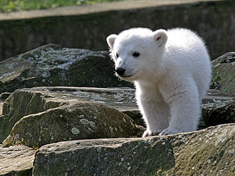 Knut (polar bear) - Knut during his debut at the Berlin Zoo in March 2007
