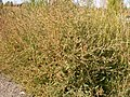 Kochia scoparia (5129971536).jpg