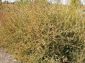 Bassia scoparia - Image: Kochia scoparia (5129971536)