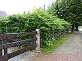 Korina 2010-08-26 Fallopia japonica.jpg