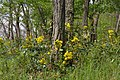 Korina 2015-04-30 Mahonia aquifolium 4.jpg