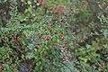 Korina 2016-10-15 Cotoneaster divaricatus 11.jpg