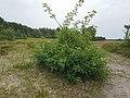 Korina 2017-07-11 Prunus serotina 1.jpg