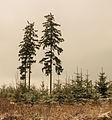 Krenkeltal Rothaarsteig in Sauerland. eenzame naaldbomen tussen jonge aanplant 02.jpg