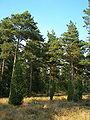 Lüneburger Heide 105.jpg
