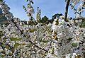 La Vall de Gallinera, flors de cirerer.JPG