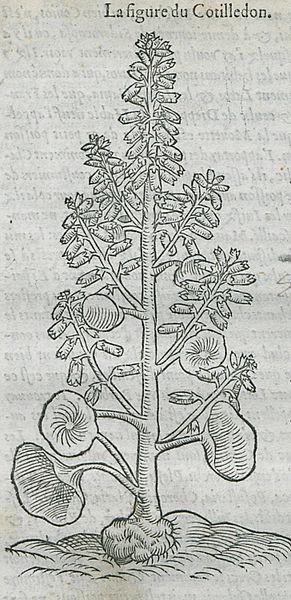 File:La figure du Cotilledon - Belon Pierre - 1554 jpg