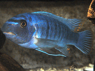 Scrapermouth mbuna species of fish