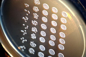 Saccharomyces cerevisiae - Yeast colonies on an agar plate.