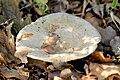 Lactarius vellereus - Lindsey 1a.jpg