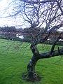 Lagrimas de árbol - Flickr - carlos.navarro.jpg