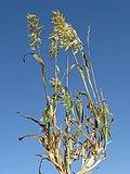 Lamarckia aurea plant9 Denman - Flickr - Macleay Grass Man.jpg