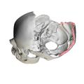 Lambdoid border of occipital bone04.png