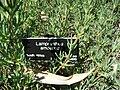 Lampranthus amoenus plant.jpg