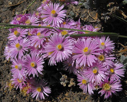 Lampranthusdeltoides2