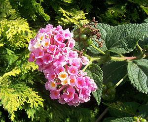 Verbenaceae - Flowers, fruit and (right) leaves of a Lantana cultivar