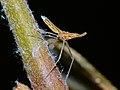 Lantern Bug (Fulgoridae) nymph (15310436458).jpg