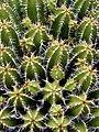 Lanzarote May 2010 - cacti at Jardin de cactus - panoramio (2).jpg