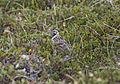 Lapland Longspur 2 (9514330454).jpg